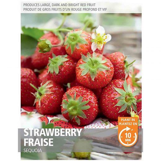 Strawberry- Sequoia