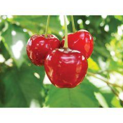 Sweet Cherry Bing 7G