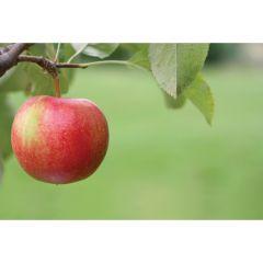 Cortland Apple Semi-Dwarf 7G