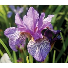 Deluxe Iris Assorted 1G
