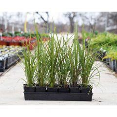 "Dracaena ""Spike Plant"" 4"" Pot"