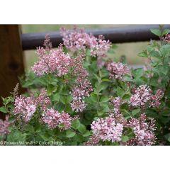 Bloomerang Dwarf Pink Reblooming Lilac PW 2G
