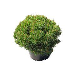 Dwarf Mugo Pine 2G