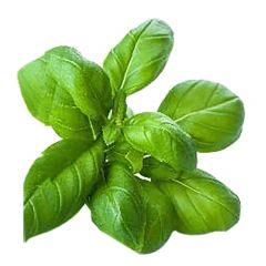 EZ BIO Basil Genovese Seeds