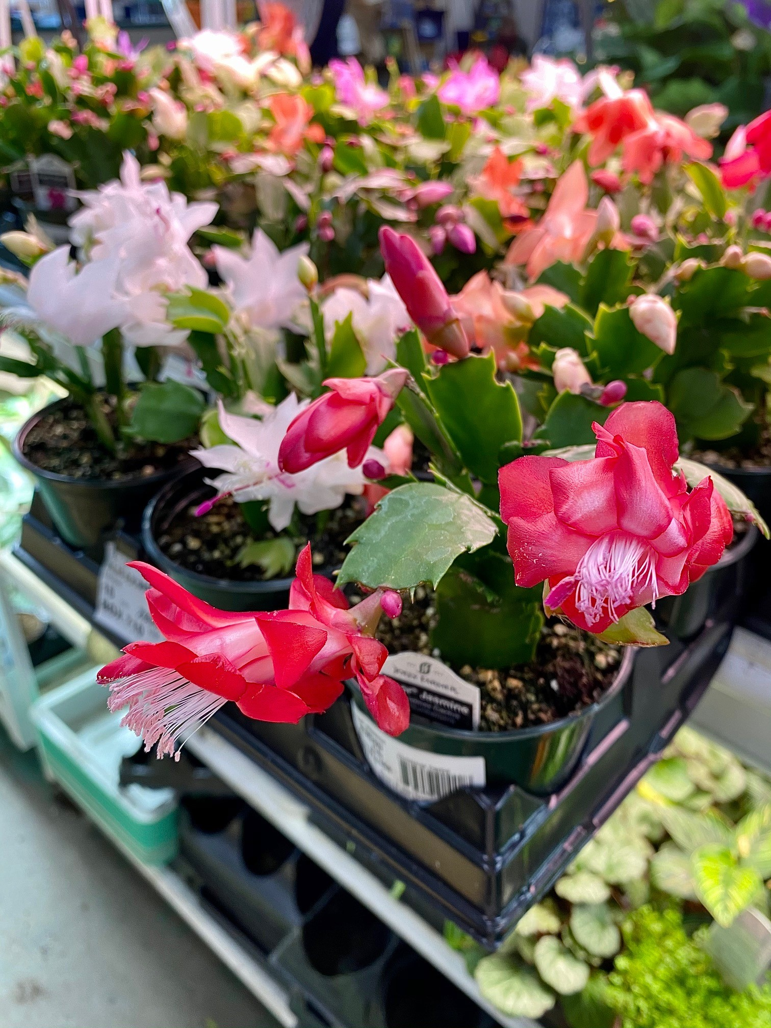 How to Care for Holiday Plants