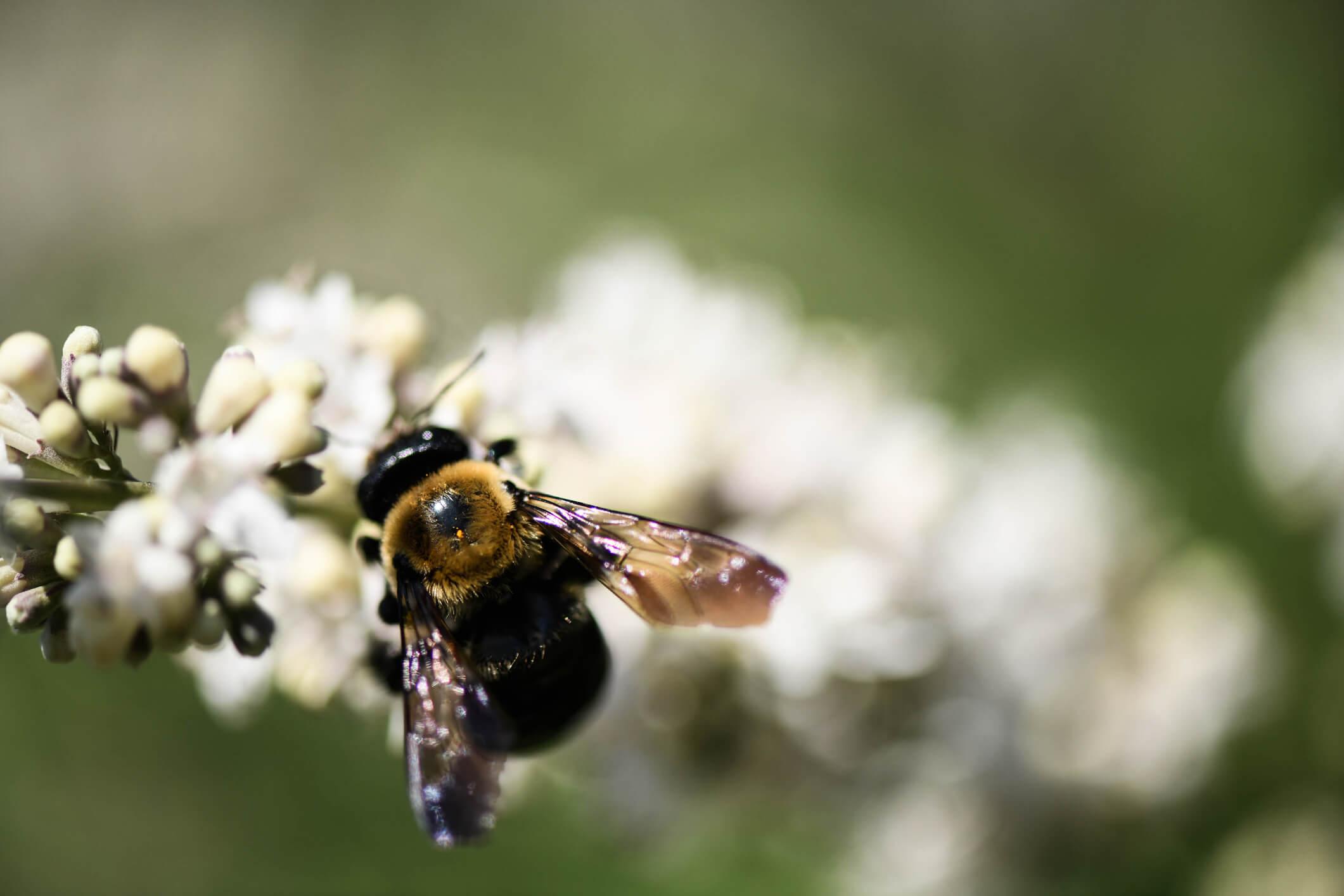 bee on white virginia sweetspire flower