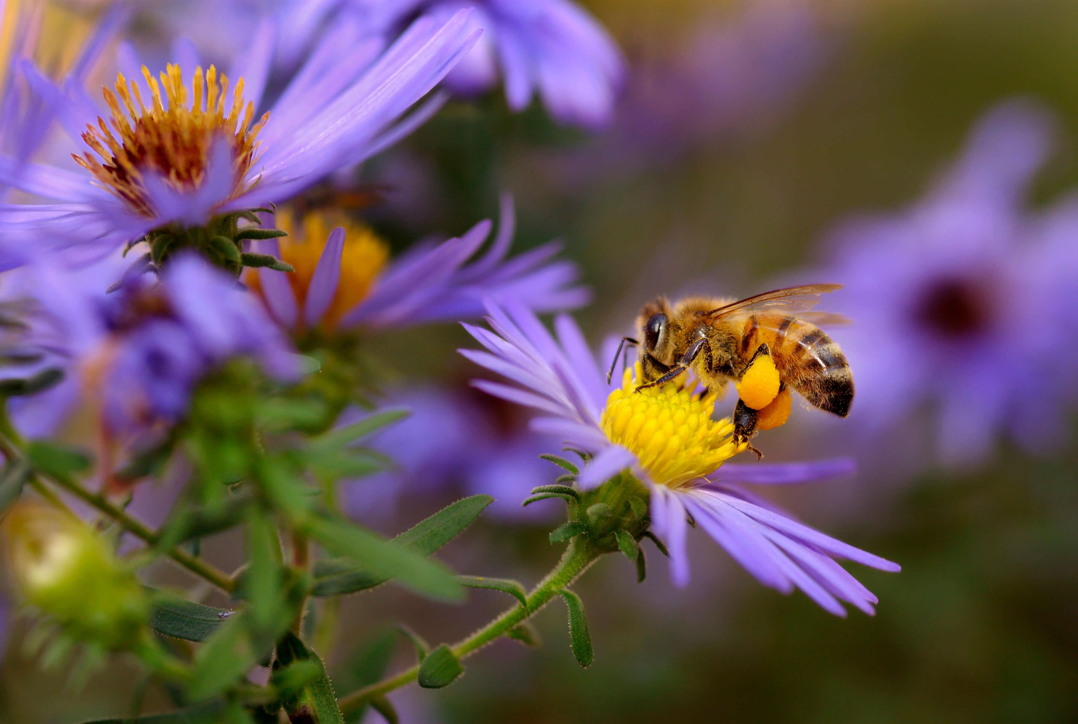 bee on purple aster flower