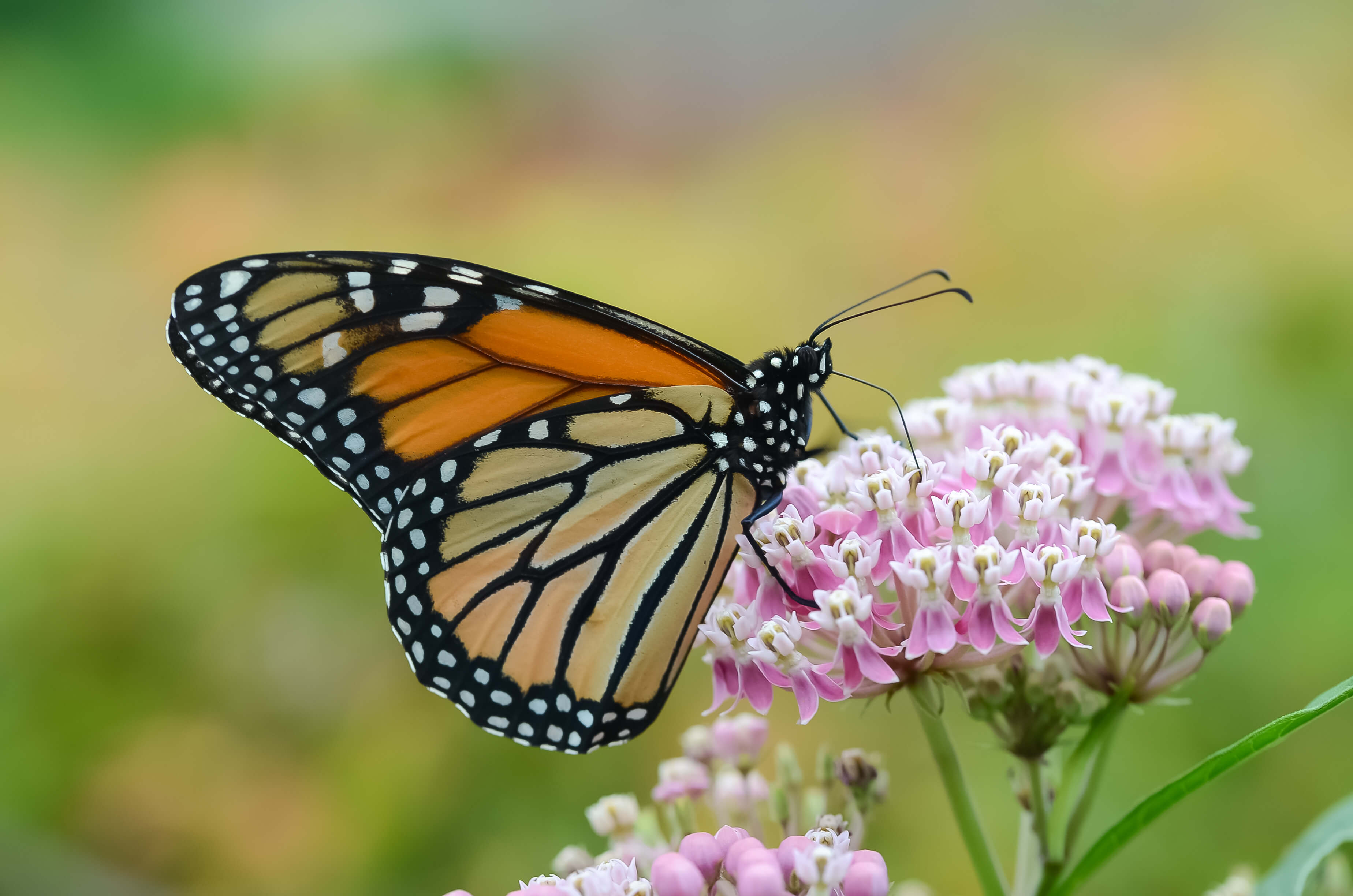 orange and black butterfly on pink milkweed flower