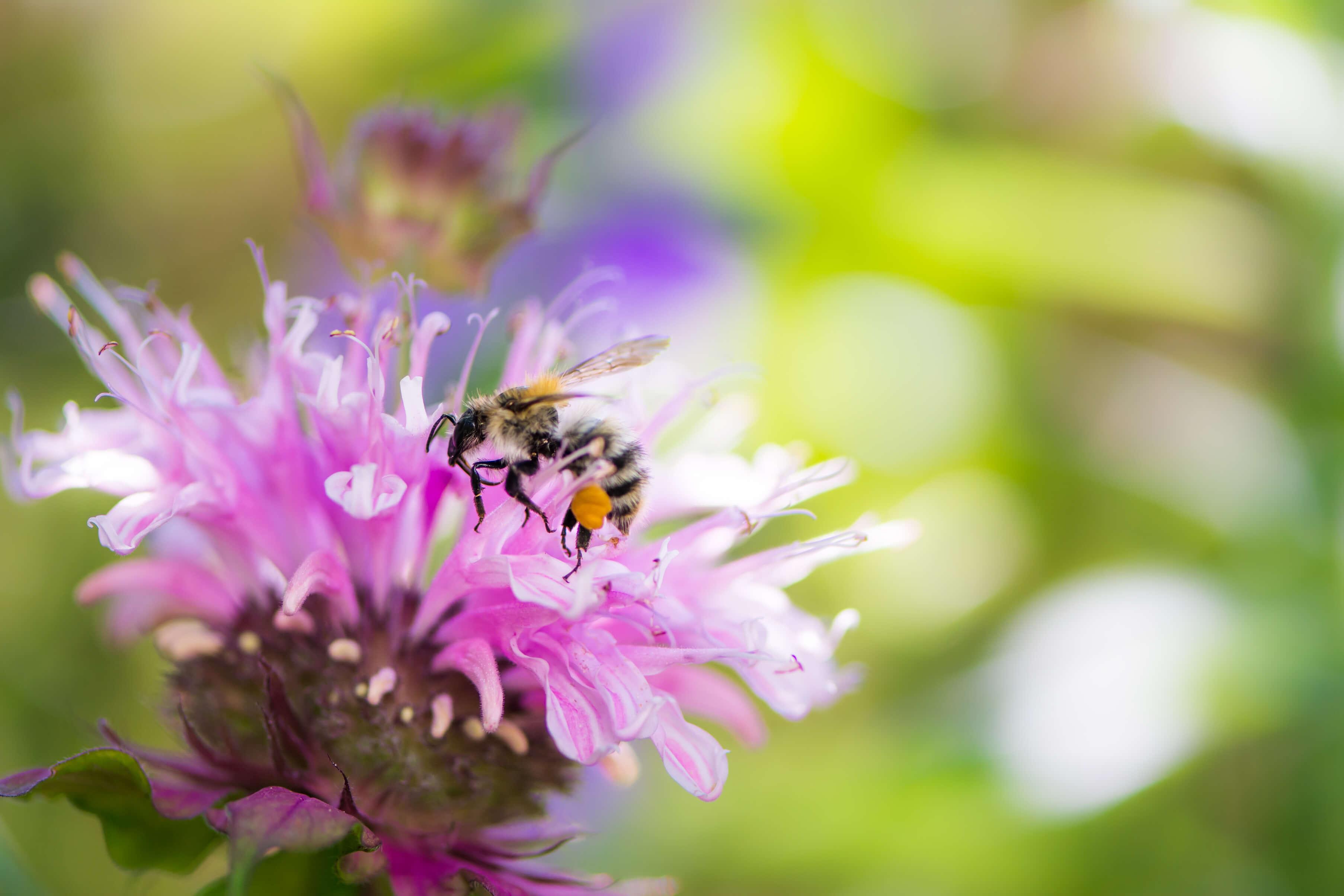 bee on pink bee balm flower
