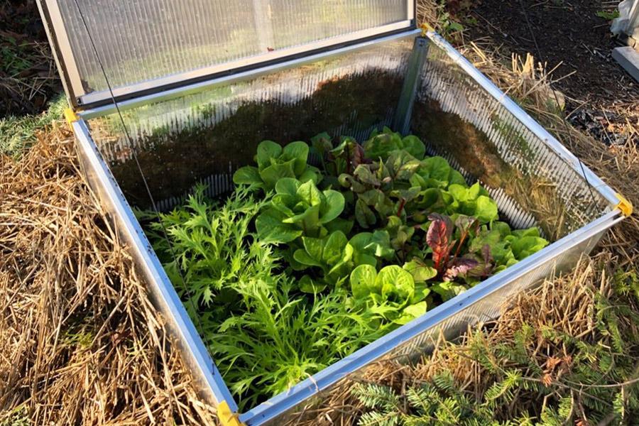 Caring for cold frame vegetables