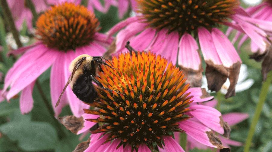 bee on pink coneflower