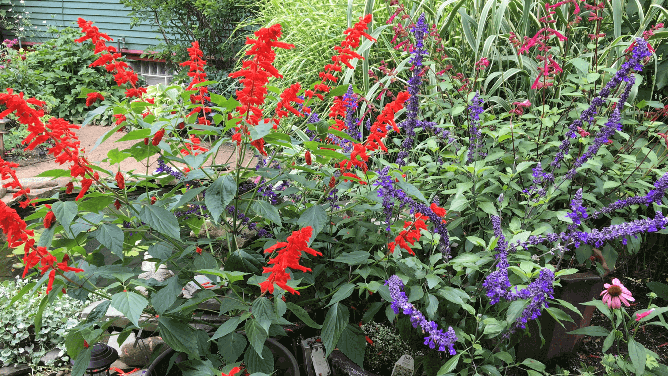 plant with red and blue flowers