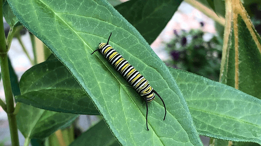 black, white, and yellow striped caterpillar on leaf